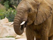 Närbildskott för afrikansk elefant Arkivfoto
