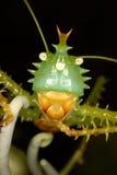 Närbildstående av den exotiska gröna gräshoppan Royaltyfri Fotografi