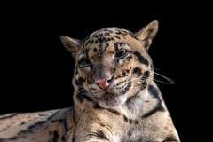 Närbildstående av den fördunklade leoparden som isoleras på svart fotografering för bildbyråer