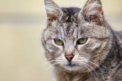 N?rbildst?ende av den gr?a ilskna str?nga och allvarliga katten som str?ngt ser B arkivbild