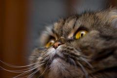 Närbildstående av den gulliga brittiska scotish avelkatten som är grå med orange ögon som ser upp royaltyfri fotografi