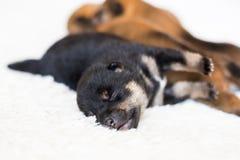 Närbildstående av den gulliga nyfödda svart- och solbrännaShiba Inu valpen som sover på filten arkivbilder