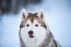 Närbildstående av den härliga, asfulla och fria Siberian skrovliga hunden som sitter på det insnöat den mörka skogen i vinter royaltyfri bild