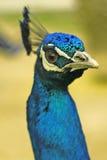 Närbildstående av den härliga påfågeln royaltyfri foto