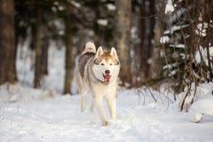Närbildstående av den lyckliga och roliga siberian skrovliga hunden med tonque som hänger ut att köra på det insnöat vinterskogen royaltyfria foton
