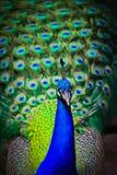 Närbildstående av den manliga påfågeln arkivfoton