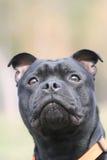 Staffordshire tjurterrier Royaltyfria Bilder