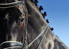 Närbildstående av dressyrhästen med flätad man Fotografering för Bildbyråer