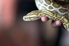 Närbildstående av en Burmese pytonorm - den största ormen för världs` s Fotografering för Bildbyråer