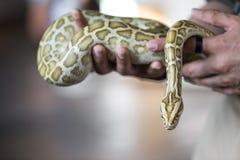 Närbildstående av en Burmese pytonorm - den största ormen för världs` s Royaltyfria Bilder