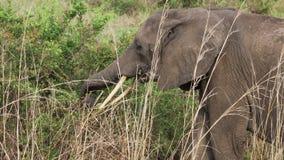 Närbildstående av en elefant som äter gräset lager videofilmer