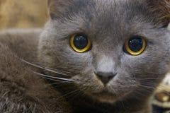 Närbildstående av en grå katt med gula ögon Royaltyfri Bild