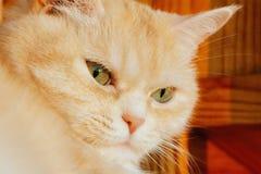 Närbildstående av en gullig allvarlig kräm- strimmig kattkatt med gröna ögon royaltyfria foton