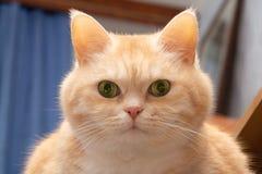 Närbildstående av en gullig fet allvarlig kräm- strimmig kattkatt med gröna ögon som ser direkt in i kameran royaltyfri foto