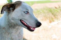 Närbildstående av en hund med blåa ögon arkivbilder