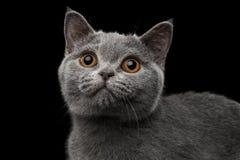 Närbildstående av Gray British Kitten på isolerad svart bakgrund Arkivfoto