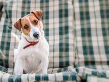 Närbildstående av gulligt hundstålarrussell sammanträde på gröna rutiga block eller kudde på trädgårds- bänk eller soffan utanför arkivfoton