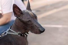 Närbildstående av hårlösa för vuxen människaXolotizcuintle hund det mexicanska manliga standarda formatet royaltyfri fotografi