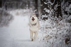 Närbildstående av lyckligt och roligt skrovligt för hundavelsiberian köra på det insnöat vinterskogen royaltyfria bilder
