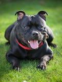 Närbildstående av svarta staffordshire bull terrier Royaltyfria Foton