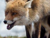 Närbildstående för röd räv (Vulpesvulpes) Arkivfoto