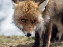 Närbildstående för röd räv (Vulpesvulpes) royaltyfri fotografi