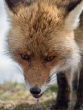 Närbildstående för röd räv (Vulpesvulpes) Royaltyfria Bilder