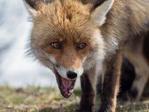 Närbildstående för röd räv (Vulpesvulpes) royaltyfri bild