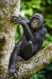 Närbildståenden av den barnsliga Bonobopannapaniscusen på trädet i naturlig livsmiljö grönt naturligt för bakgrund fotografering för bildbyråer