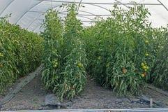 Närbildstjälk av tomater i växthuset Arkivbild
