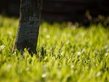 Närbildträd på en bakgrund av gräsmatta för grönt gräs Royaltyfria Foton