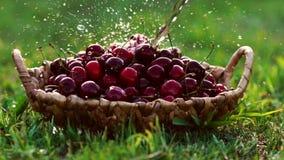 Närbildwash under röda körsbärsröda bär för rinnande vatten i korgar som står på grönt gräs arkivfilmer