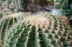 Närheten av den gröna kaktuns i trädgården Arkivbilder
