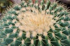 Närheten av den gröna kaktuns i trädgården Arkivfoto