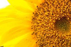 Närheten av solroskronbladen arkivfoto
