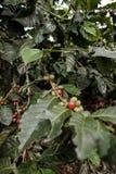Närliggande kaffeträd en kaffelantgård i ett bergområde av den Colombia kafferegionen royaltyfria foton