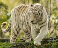 närmande sig bengal tiger Royaltyfri Fotografi