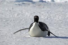 närmande sig pingvin Arkivfoton