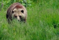 närmar sig grizzlyen Arkivbild