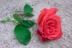 Närvarande röd ros för romantiker på grå bakgrund royaltyfri foto