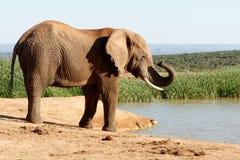 Näsa - afrikanBush elefant Arkivfoto