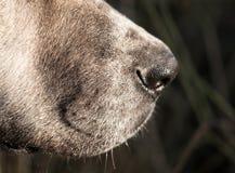 Näsa av en hund Makro royaltyfria bilder