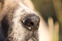 Näsa av en hund Makro arkivbilder
