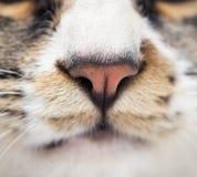 Näsa av en randig manlig katt royaltyfri bild