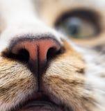 Näsa av en randig manlig katt arkivbild