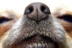 Näsa av hunden Royaltyfria Bilder