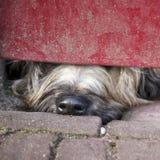 Näsa av hunden som kikar under röd dörr arkivbilder