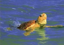Näsa upp sköldpadda Fotografering för Bildbyråer