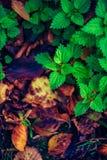 Nässla i naturen Autumn Colours Fotografering för Bildbyråer