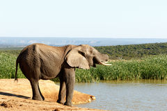 Nästan - afrikanBush elefant Arkivfoto
